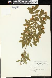 Image of Ligustrum amurense