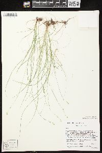 Carex disperma image