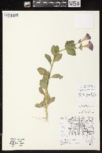 Image of Petunia integrifolia