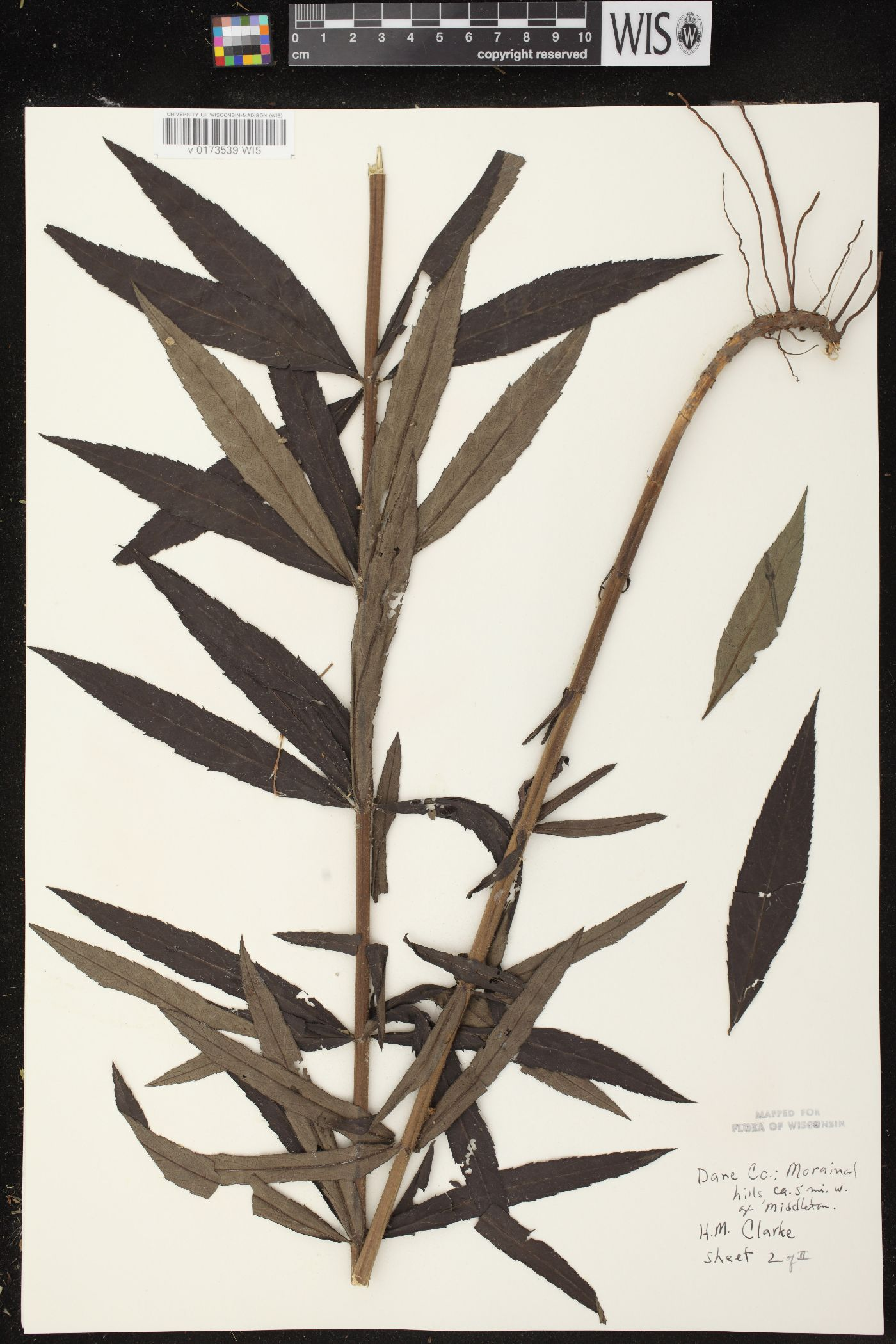 Veronicastrum image