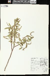 Image of Salix x fragilis