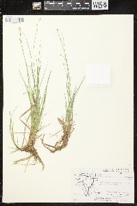 Image of Carex lapponica