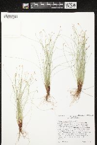 Image of Isolepis cernua