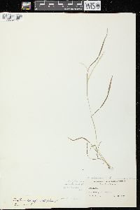 Image of Digitaria longiflora