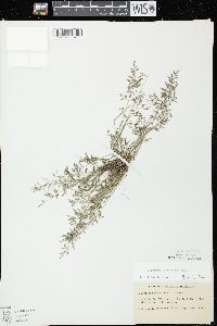 Image of Eragrostis minor