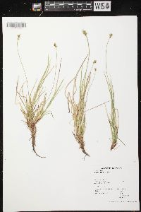 Image of Carex peckii