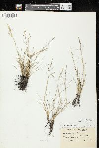 Puccinellia distans subsp. distans image