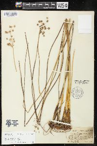 Image of Juncus pervetus
