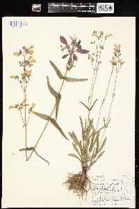 Image of Penstemon laxiflorus