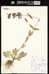 Image of Penstemon albertinus