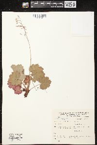Image of Heuchera mexicana