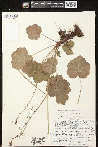 Image of Heuchera longipetala