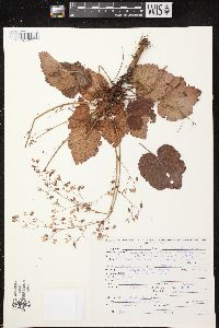 Image of Heuchera orizabensis