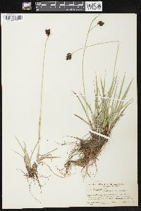 Image of Carex atrofusca