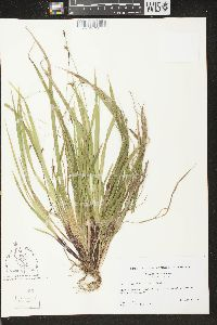Image of Carex austrocaroliniana