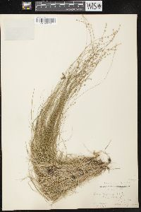 Carex brunnescens image