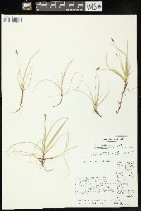 Image of Carex concinna