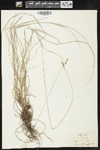 Image of Carex contigua