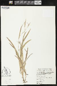Image of Carex x copulata
