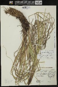 Carex decomposita image