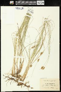Image of Carex divisa