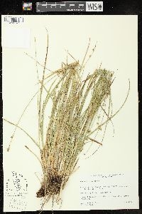 Image of Carex divulsa