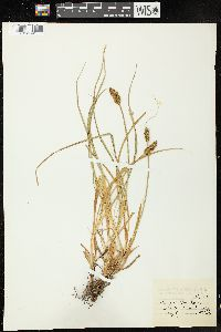 Image of Carex dudleyi