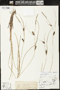 Carex striata image