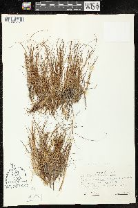Image of Carex subspathacea