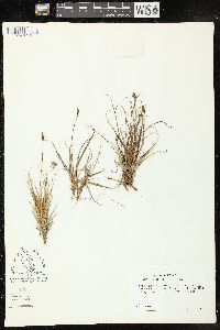 Image of Carex supina
