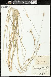 Image of Carex triceps