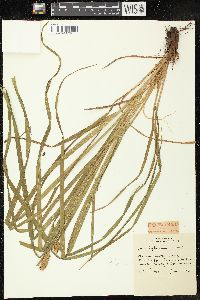 Image of Carex typhinoides