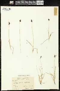 Image of Carex vahlii