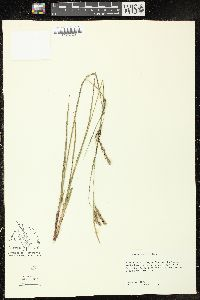 Image of Carex venusta