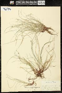 Image of Carex varia