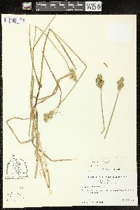 Image of Carex tetrastachya
