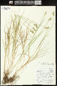 Image of Carex vexans
