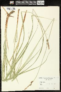 Image of Carex vestita