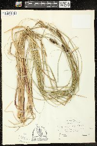 Image of Carex walteriana