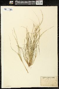 Image of Carex willdenowii