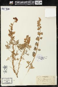Image of Lupinus chamissonis