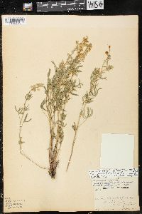Image of Lupinus evermannii
