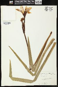 Image of Iris hexagona