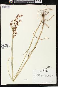 Image of Juncus biflorus