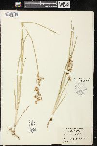 Image of Juncus brunnescens