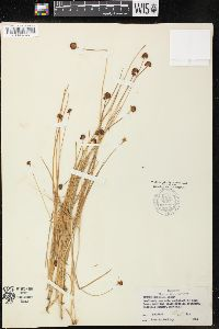 Image of Juncus debilis
