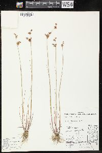 Image of Juncus elliottii