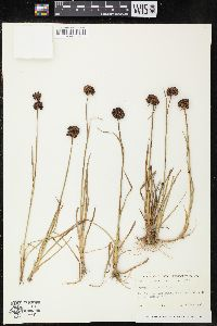 Image of Juncus falcatus