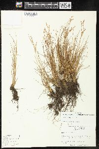 Image of Juncus georgianus