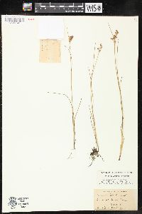 Image of Juncus gerardii